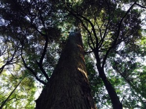 外宮も内宮も樹が立派!